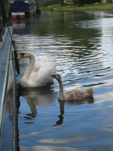 The swan kept pecking at the side of the boat rushing up and down the length. Totally crazy!