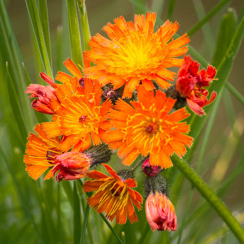 The Beautiful Orange Hawkweed